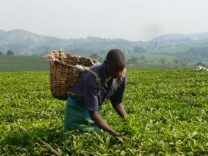 Picking tea leaves in Western Uganda.