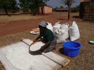 Maize, corn, is spread out in the sun to dry before and after milling.