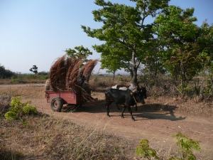 Ox Cart with thatch for roofing. We never saw oxen pulling plows.